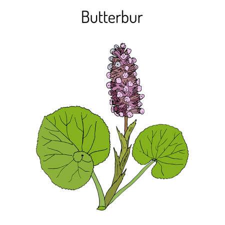 rhubarb: Butterbur Petasites hybridus , or bog rhubarb, Devil s hat, pestilence wort, medicinal plant. Hand drawn botanical vector illustration