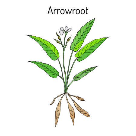 horticultural: West Indian arrowroot Maranta arundinacea , or obedience plant, araru, ararao. Hand drawn botanical vector illustration Illustration