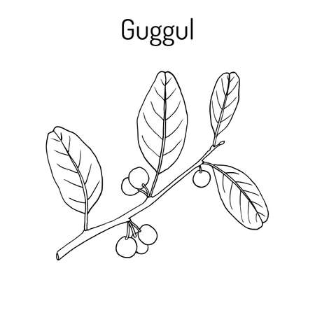 veda: Best Ayurvedic plant guggul Commiphora wightii , or Indian bdellium-tree, Mukul myrrh tree. Hand drawn botanical vector illustration