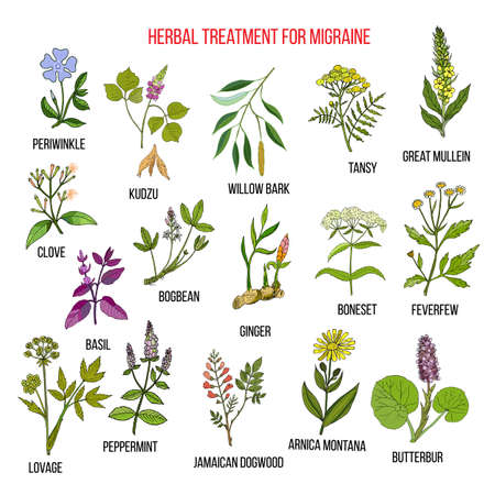lovage: Collection of medicinal herbs for migraines relief. Hand drawn botanical vector illustration