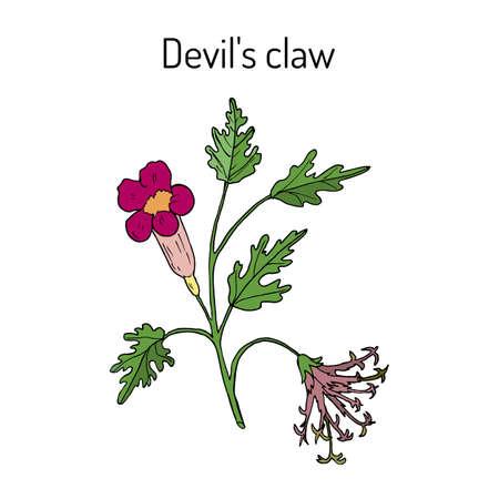 Devil s Claw Harpagophytum procumbens , or grapple plant, wood spider Illustration