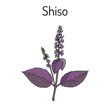 Shiso Perilla frutescens, especias y hierbas medicinales Foto de archivo - 74575350