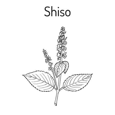 Shiso Perilla frutescens, 향신료 및 약초 스톡 콘텐츠 - 74575351