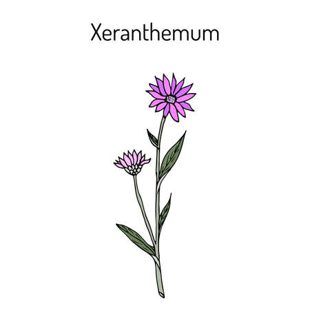 everlasting: Annual everlasting or immortelle Xeranthemum annuum , flower plant Illustration