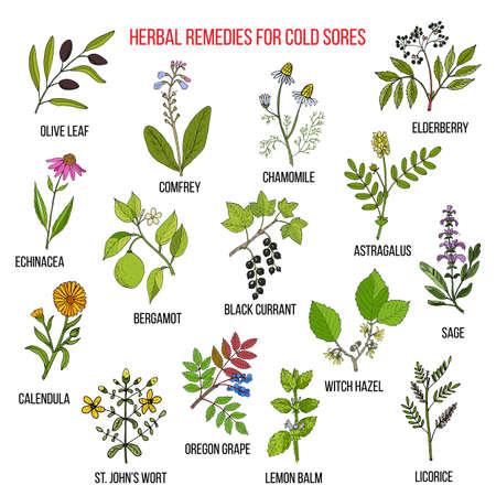 Los mejores remedios herbales para el herpes labial. Dibujado a mano conjunto de hierbas medicinales