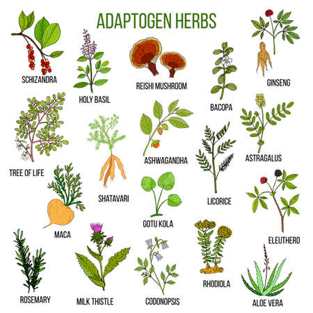 Adaptogen herbs. Hand drawn set of medicinal plants