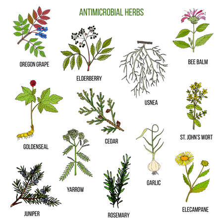 Antimicrobial herbs. Hand drawn set of medicinal plants