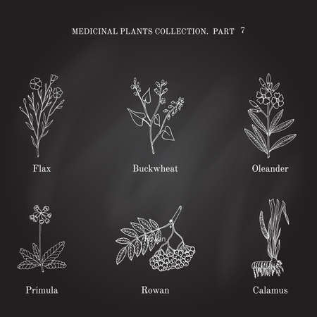 oleander: Vintage collection of hand drawn medical herbs and plants flax, buckwheat, oleander, primula, rowan, calamus