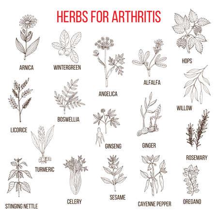 alfalfa: Herbs to fight arthritis boswellia, willow, celery, ginger, arnica, wintergreen, andelica, alfalfa, hop, licorice, ginseng, rosemary, turmeric, stringing nettle, sesame, cayenne pepper, oregano Illustration