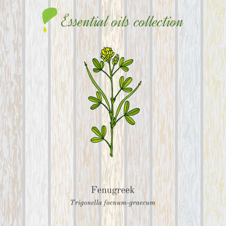 Pure essential oil collection, fenugreek. Wooden texture background Illustration