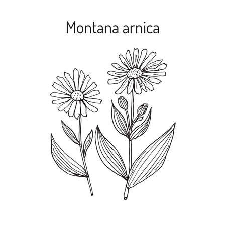Arnica: Medicinal herb arnica montana
