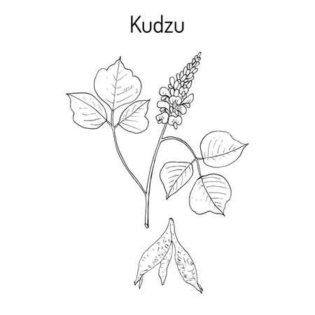 asian family: Kudzu pueraria montana , medicinal plant Illustration