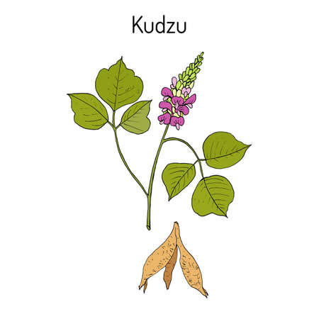 Kudzu pueraria montana , medicinal plant Illustration
