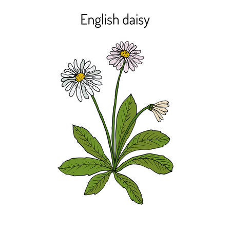 potherb: Common, english or lawn daisy Bellis perennis Illustration
