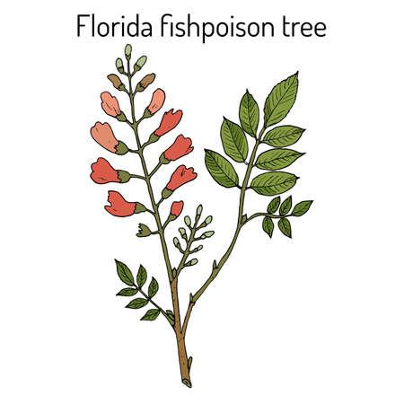 Florida fishpoison tree, or Jamaican dogwood, or fishfuddle Piscidia piscipula , tropical tree Çizim