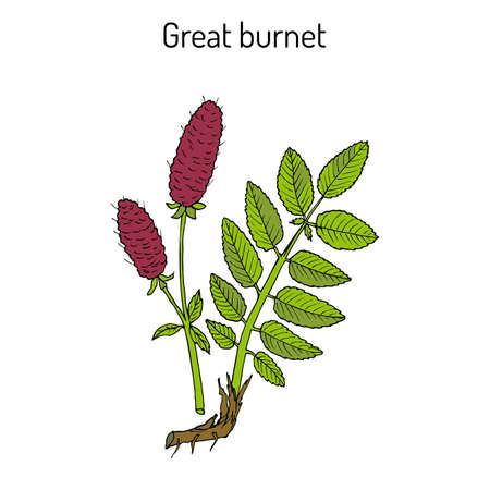 Great burnet Sanguisorba officinalis , medicinal plant