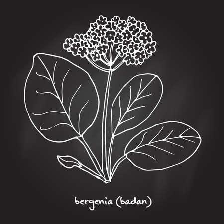 Medicinal and garden plant bergenia Illustration