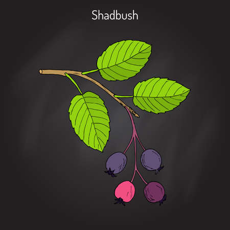 Amelanchier, also known as shadbush, shadwood or shadblow Illustration