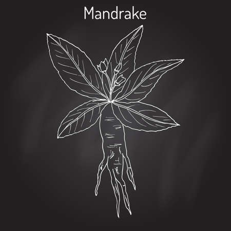 herbalism: Mandrake root or Mandragora officinarum