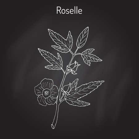 Roselle Hibiscus sabdariffa , or carcade
