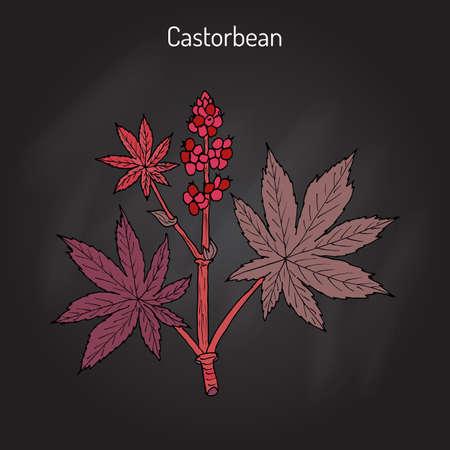 horticultural: Castorbean, or Castor-oil-plant Ricinus communis , medicinal plant Illustration