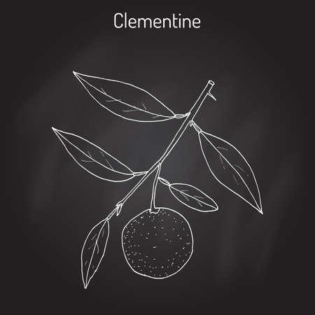 Clementine Citrus clementina , citrus fruit Illustration