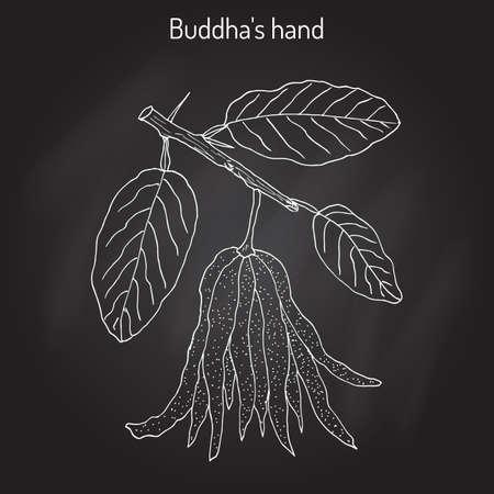 medica: Fingered citron , Citrus medica , or Buddha s hand - exotic fruit