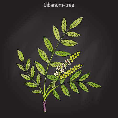 Olibanum-tree Boswellia sacra , or frankincens, aromatic tree