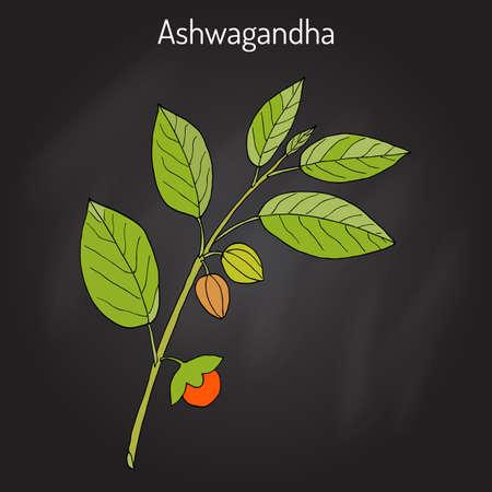 Hierba ayurvédica Withania somnifera, conocida como ashwagandha, ginseng indio, grosella espinosa venenosa o cereza de invierno Foto de archivo - 75148576