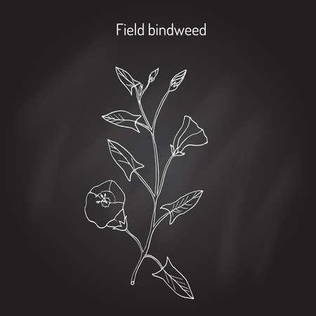 bindweed: Field Bindweed Convolvulus arvensis .
