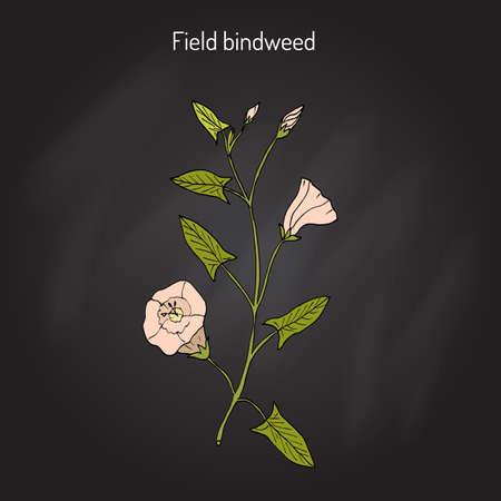 Field Bindweed Convolvulus arvensis .
