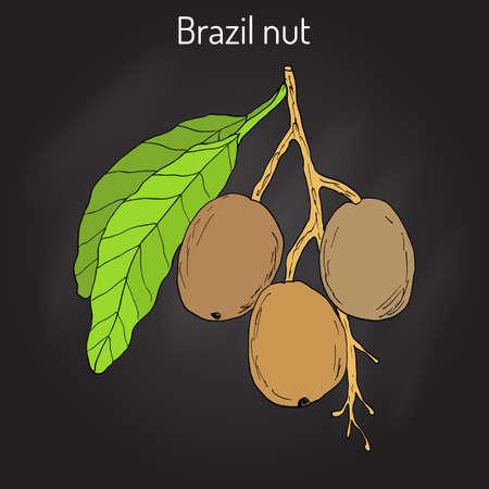 brazil nut: Brazil nut Bertholletia excelsa .