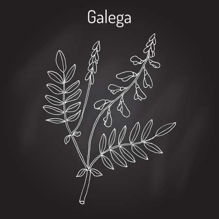 officinalis: Galega Galega officinalis , goat s-rue, French lilac, Italian fitch, or professor-weed, medicinal plant. Illustration