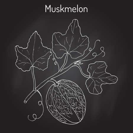 Muskmelon or Cucumis melo Stock Vector - 75148607