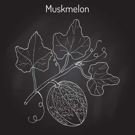 Muskmelon or Cucumis melo Illustration