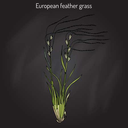 pennata: European feather grass Stipa pennata , flowering plant