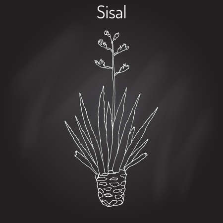 Sisal Agave sisalana , fiber plant