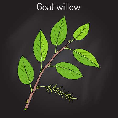 nectar: Goat Willow Salix caprea