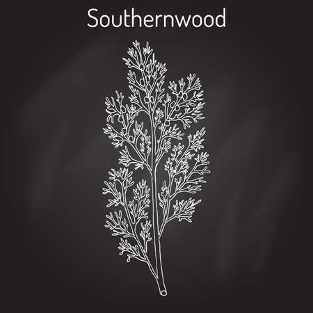 Southernwood artemisia abrotanum , or lad s love, southern wormwood, medicinal plant. Hand drawn botanical vector illustration
