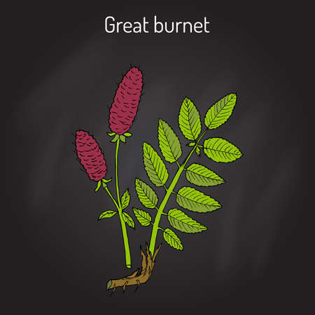 sanguisorba: Great burnet Sanguisorba officinalis , medicinal plant