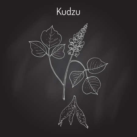 erosion: Kudzu pueraria montana , medicinal plant Illustration