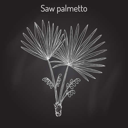 Saw Palmetto Serenoa repens , medicinal tree 일러스트