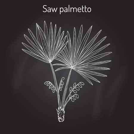 Saw Palmetto Serenoa repens , medicinal tree Illustration