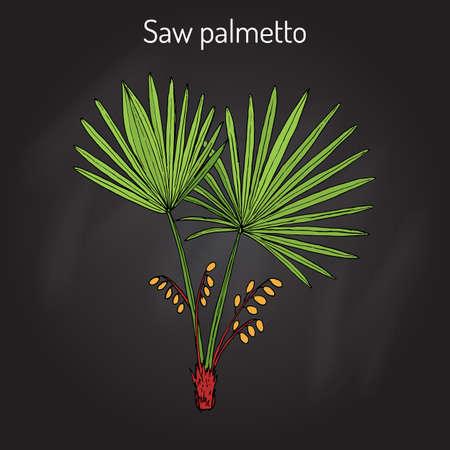 palmetto: Saw Palmetto Serenoa repens , medicinal tree Illustration
