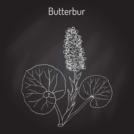 petasites: Butterbur Petasites hybridus , medicinal plant