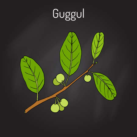 Best Ayurvedic plant guggul Commiphora wightii , or Indian bdellium-tree, Mukul myrrh tree