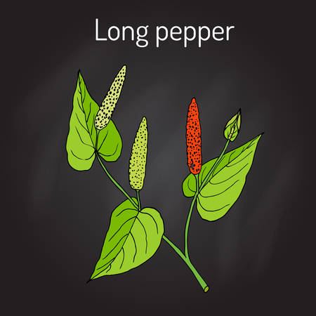 veda: Ayurvedic plant Long pepper Piper longum , pippali. Illustration