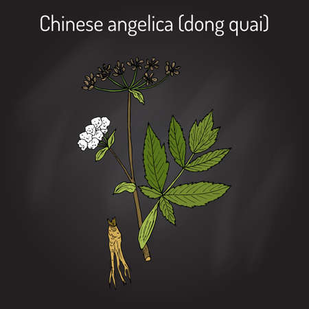 Angelica sinensis, or dong quai, or female ginseng - medicinal herb