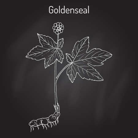 Goldenseal Hydrastis canadensis , medicinal plant Çizim