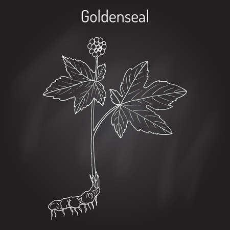 Goldenseal Hydrastis canadensis , medicinal plant Vettoriali